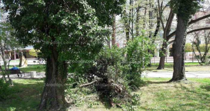 Снимка: 24rodopi.comИзгнило дърво се сгромоляса до пейки в градската градина
