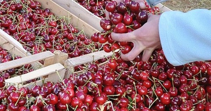 Варна. Понижава се цената на черешите и ягодите във Варна.