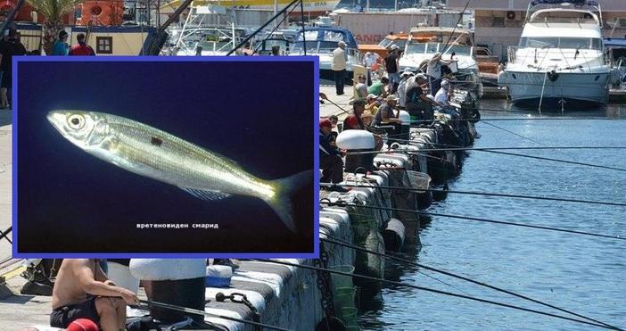 Пасажи от характерната за Егейско море риба смарид са забелязани