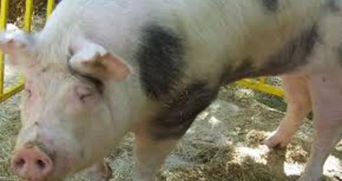 Снимка БулфотоПо повод активното разпространение на болесттаафриканска чумапо свинете в