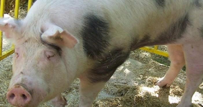 По повод активното разпространение на болестта африканска чума по свинете