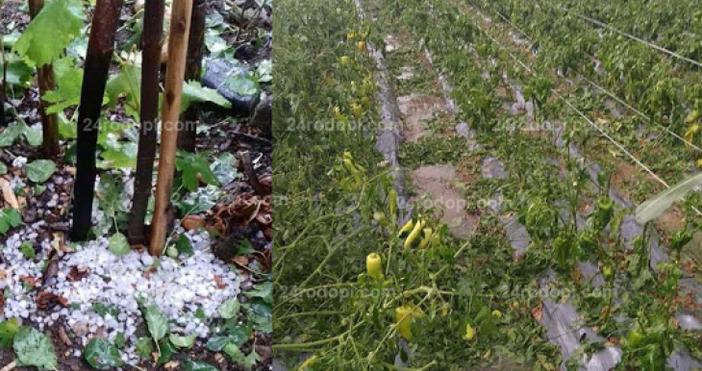 Снимки: 24rodopi.com.Градушка с големина на лешник съсипа посевите от тютюн