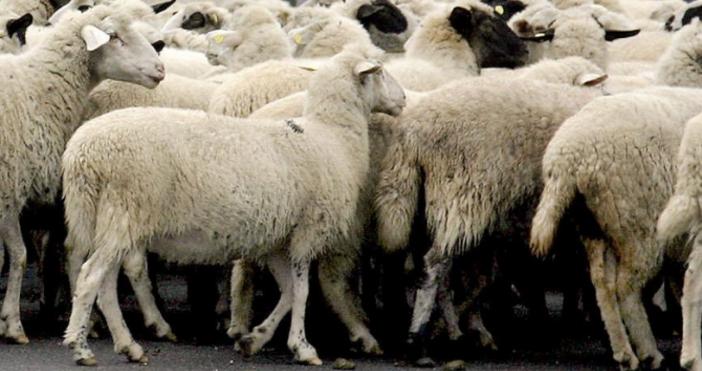 Най-вероятната причина за проникване на чумата по животните в България