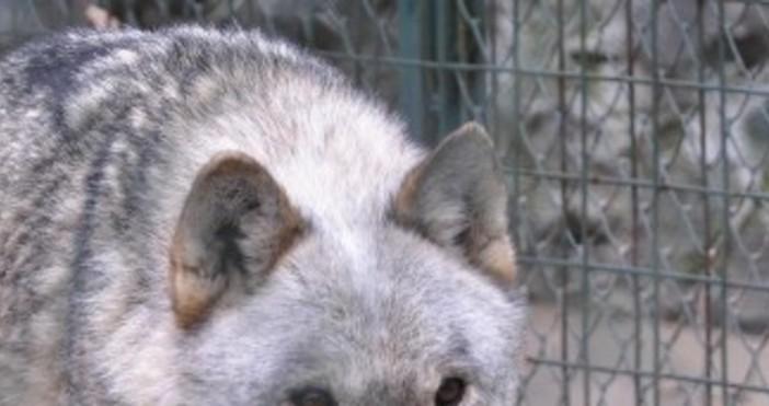 Снимка: Булфото, архиврекламаМъж си взе вълк за домашен любимец и