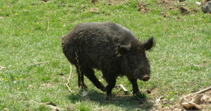 Резултатите от пробите на умрялото диво прасе, открито миналата седмица