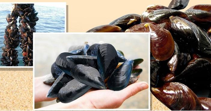 Добре познатите производители на миди Black Sea Shells са най-големите