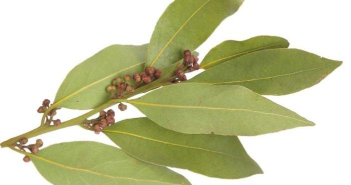 Дафинов лист- един от най-силните антисептици. Той помага при висока