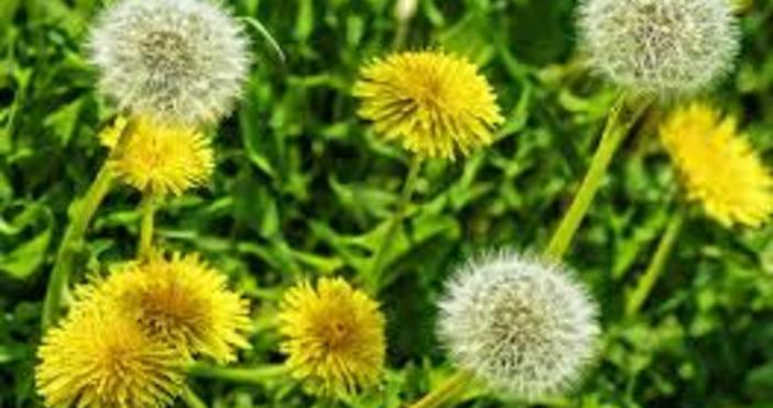 Цветето от детството ни - глухарчето, може да ни спаси