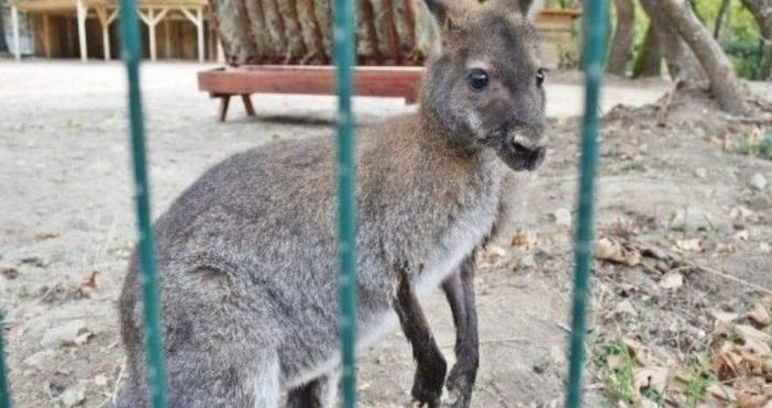 Кенгуру избяга от зоокъта в Сандански. Кметът на града Кирил
