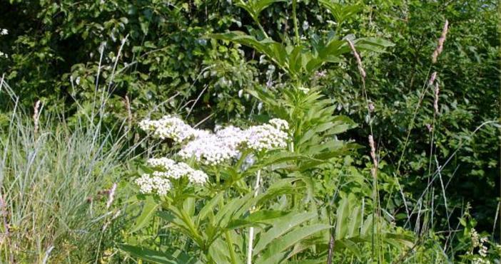 Пролетни билки: Черен бъз - най-силната българска билкаЗа Черният бъз(Sambucus