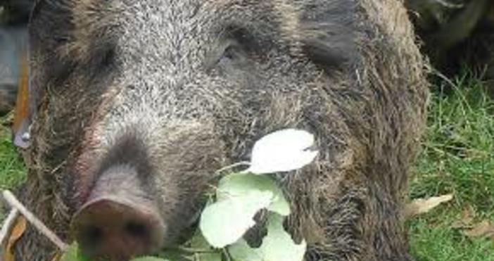 Снимка: Булфото, архивНови случаи на африканска чума при диви свине