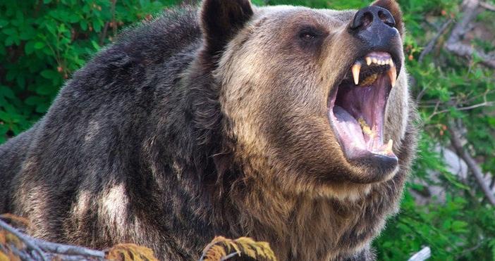 17 нападения от мечки върху домашни животни и селскостопанско имущество