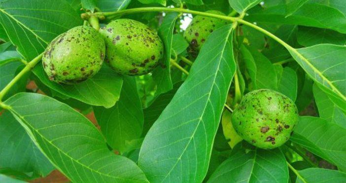 Орехът /Juglans Regia/ е едно от най-старите дървета, чиито плодове