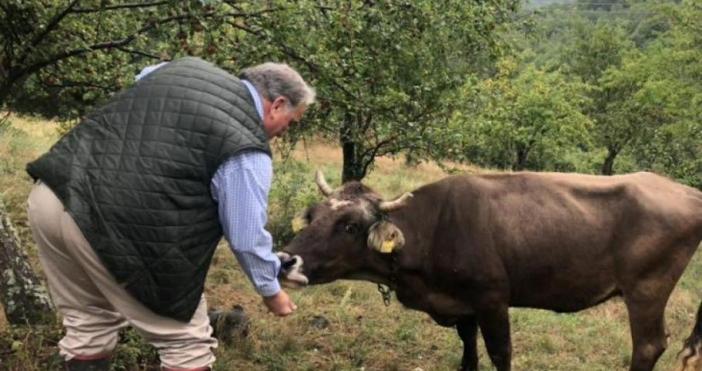 Най-известната крава у нас, която придоби и международна известност –
