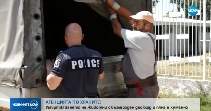 Кадър Нова твРаботници от свинеферми в Русенско остават без работа