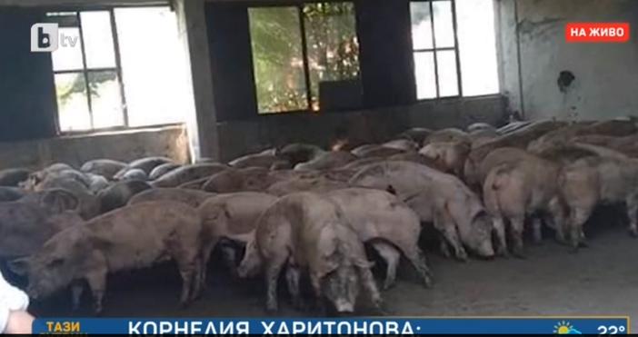 Кадър: БТВСъсобственикът на свинекомплекса в Николова – Корнелия Харитонова, за
