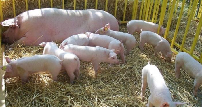 Снимка БулфотоМярката за ограничаване на отглеждането на свине в лични