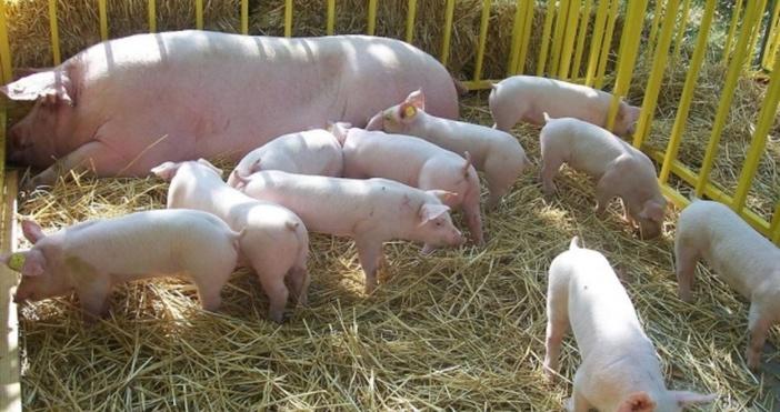 Положителна проба за африканска чума по свинете /АЧС/ е установена