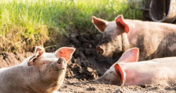 Собственици на домашни прасета от тунджанското село Безмер трета седмица