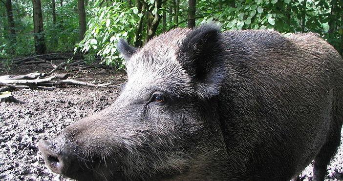Нов случай на заразено с африканска чума диво прасе е