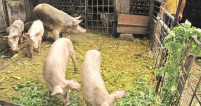 Снимка БулфотоОколо 30% от индустриалното свиневъдство в България вече е