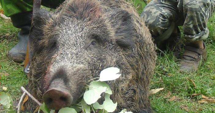 Източник Фокус, снимка БулфотоМъртва дива свиня е намерена край селище