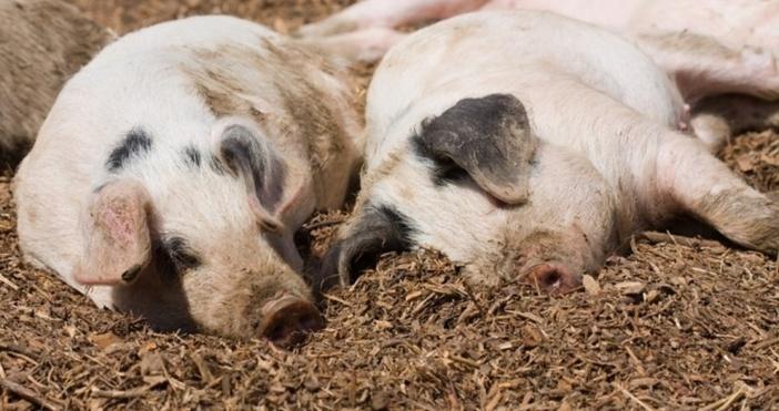 Административни санкции грозят собствениците на 177 прасета в Сливенско. Те