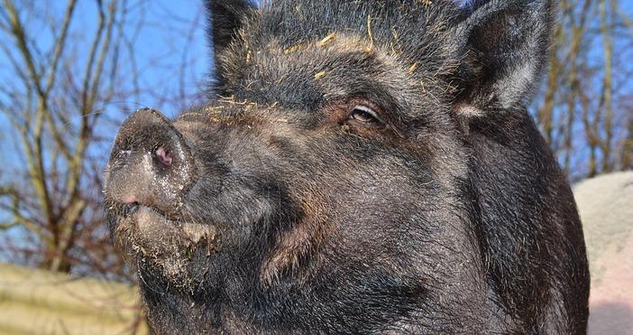 СнимкаpixabayНови два случая на африканска чума при диви прасета са