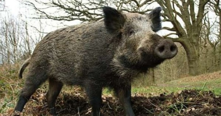БНРНов случай на Африканска чума по свинете е установен във