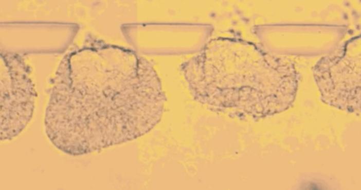 kaldata.comЕмбрионите, отгледани отстволови клетки, се използват за тестване на лекарства
