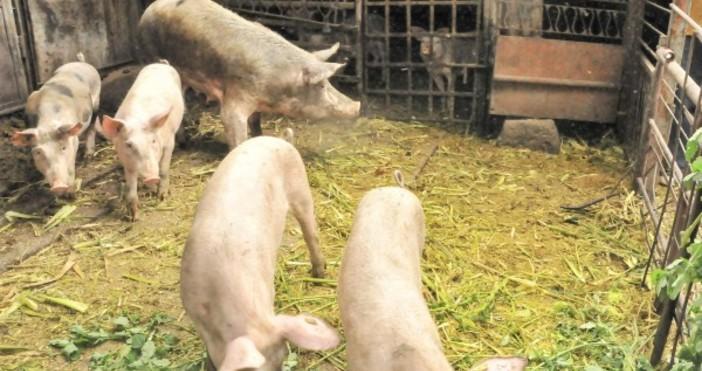 Снимка БулфотоВ промишлен свинекомплекс във видинското село Новоселци е открито