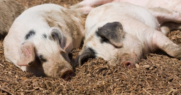 Започнало е хуманното умъртвяване на над 3800 животни в промишлената