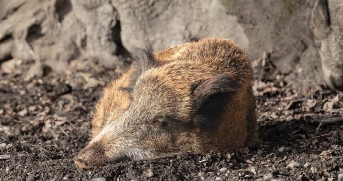 Снимка:PixabayЗаради първия случай на африканска чума по свинете в Пернишка