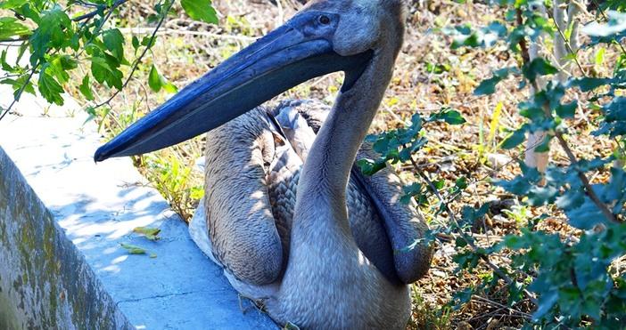Снимки: Община ДевняСлужители на Община Девня спасиха розов пеликан, забелязан