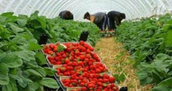 Кадър БулфотоБританското правителство ще увеличи годишната имиграционна квота за сезонни