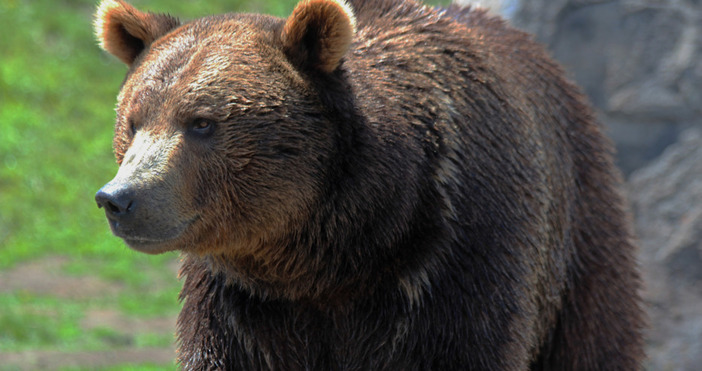 7 пчелни кошера са унищожени при нападение на мечка над