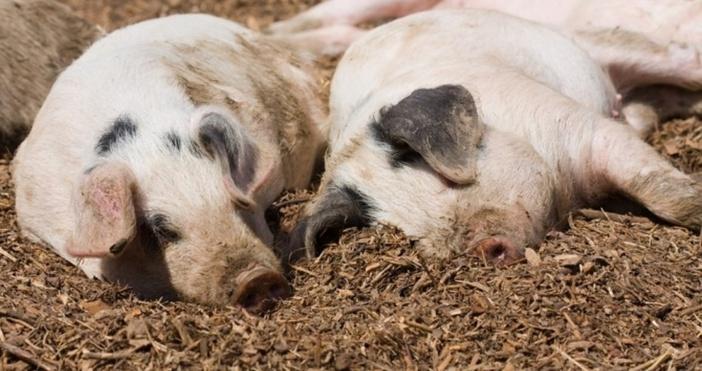 В срок от седем дни всички домашни прасета в област