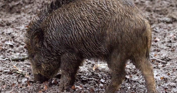 СнимкаpexelsКрай село Комарево в община Берковица са открити диви прасета,