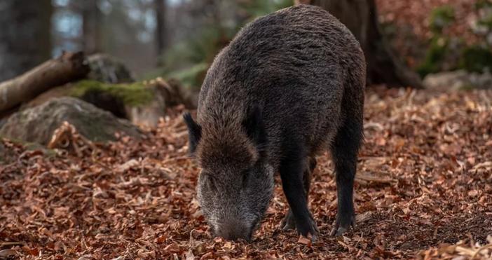 СнимкаpixabayПърви случай на африканска чума по диво прасе е регистриран