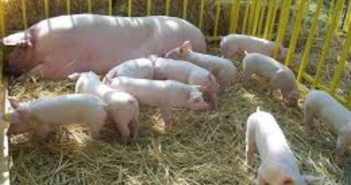 Откриха нов случай на африканска чума по свинете край Котел.