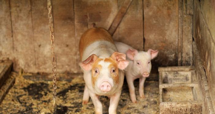 Нови мерки за ограничаване на разпространението на чума по свинете