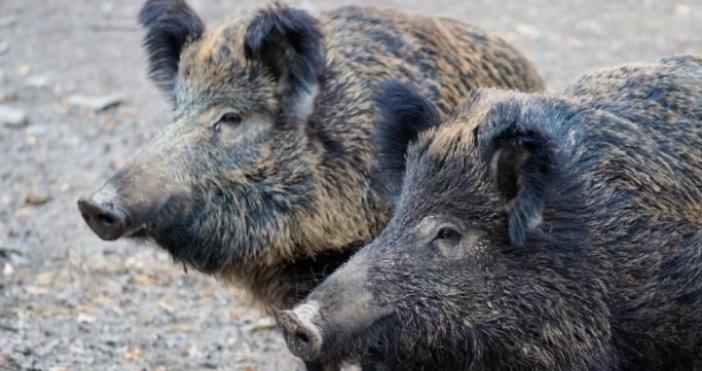СнимкаPixabayНови 17 случая на африканска чума при диви свине са