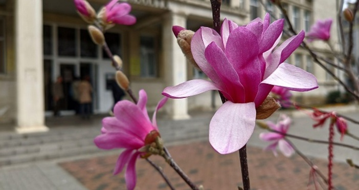 Снимки БулфотоМагнолиите по центъра във Варна разцъфтяха в красиви розови