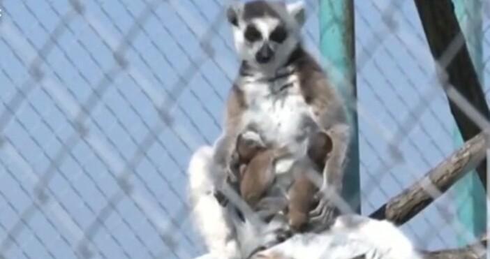 Нова твПриматите от Мадагаскар са сред най-застрашените видове на планетатаДокато