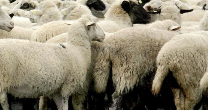 Над 9000 български овцевъди имат право да се възползват от