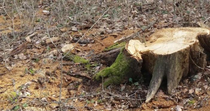 Над 70 кубически метра незаконно добита строителна дървесина е била