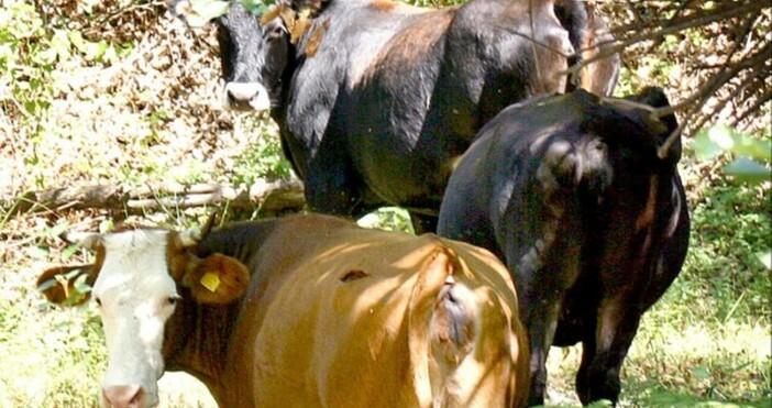 Снимка: БулфотоВ три кравеферми и в една овцеферма в севлиевските