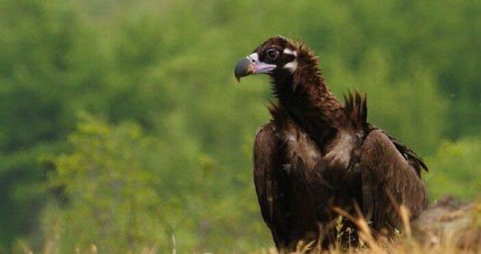 Снимка: МОСВЕдинот последните останали черни лешояди у нас е убит