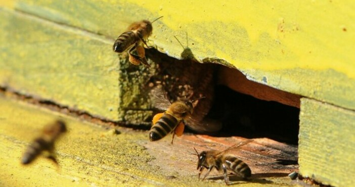 снимка: БулфотоПо-строги наказания при отравяне на пчели предвиждат предложения за