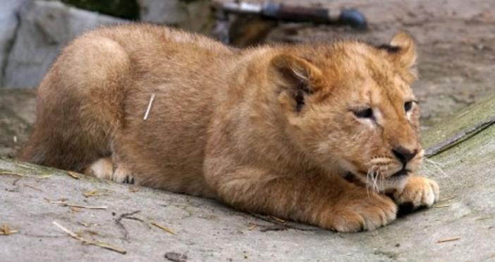 снимка: Булфото, архивСъстоянието на двете лъвчета от благоевградския зоопарке стабилно,